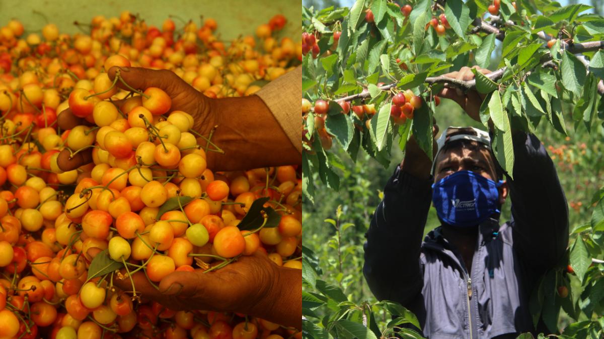 In Photos: Farmers in rural Jammu & Kashmir handpick cherries during season of harvest