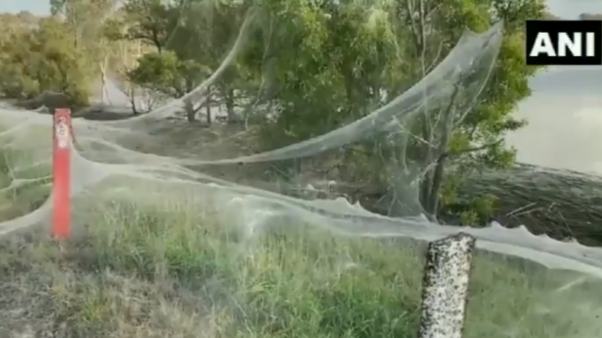 'Behave, Tom Holland!': Video of Australia's Gippsland blanketed in gigantic spider web goes viral; Twitterati blame it on Spiderman