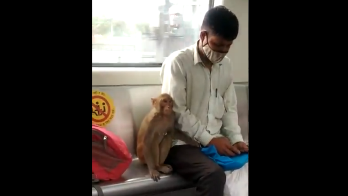 WATCH: Video of monkey travelling in Delhi metro goes viral; Twitterati ask 'Where is his mask?'