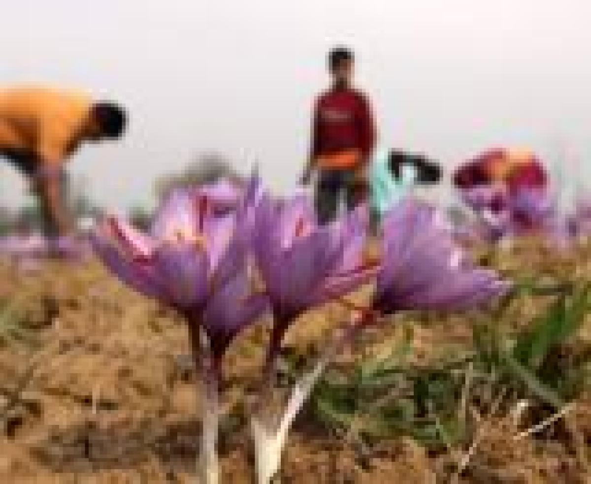 Saffron fields are a reminder of Kashmir's royal romance