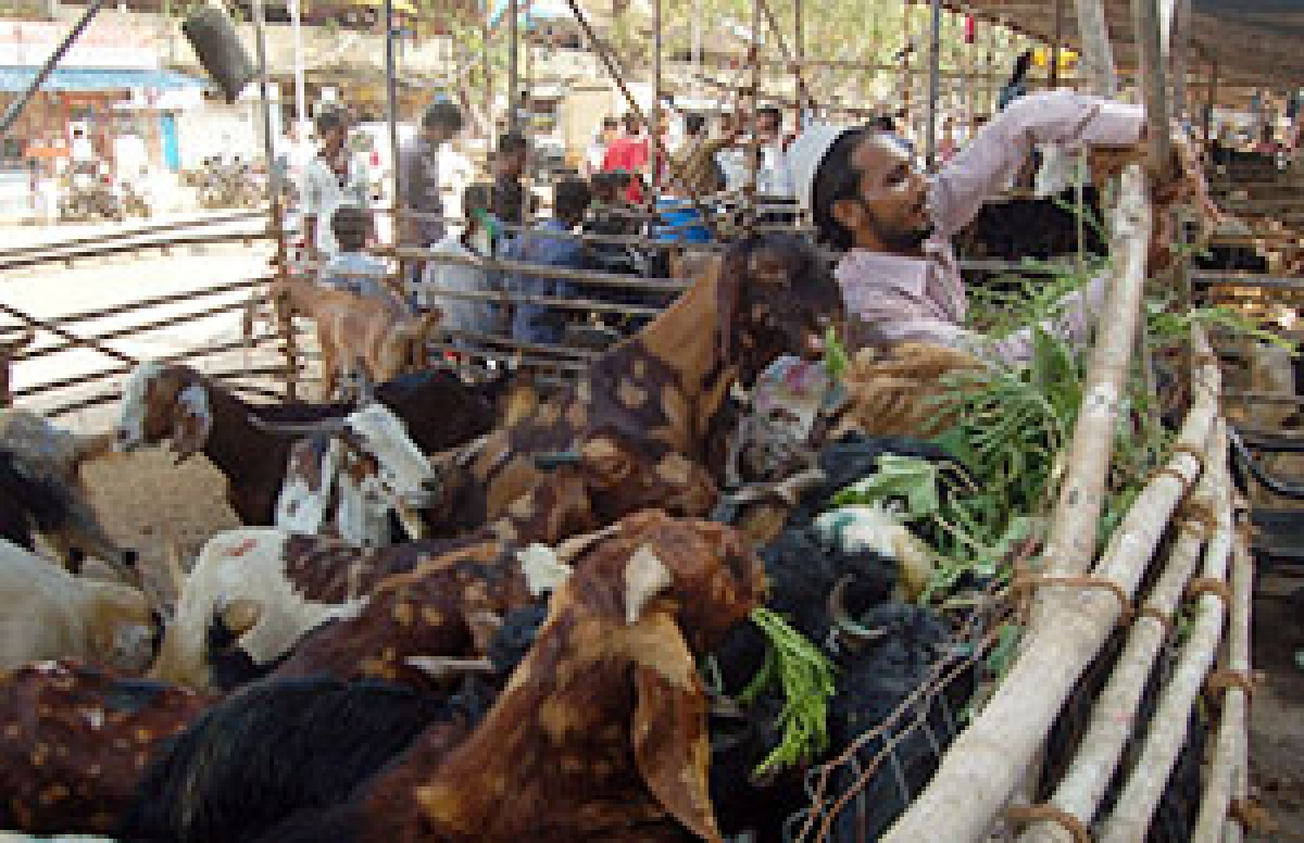 Sacrificial animals costlier, this Bakri Eid!