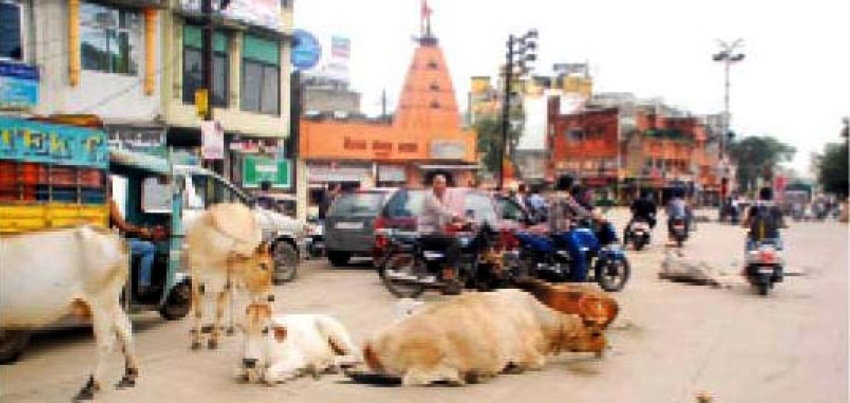 UMC all sets to make city free from stray cattle