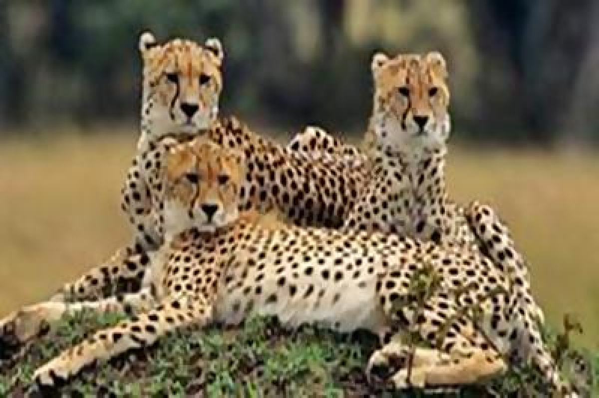 Cheetah reintroduction hits roadblock for want of funds