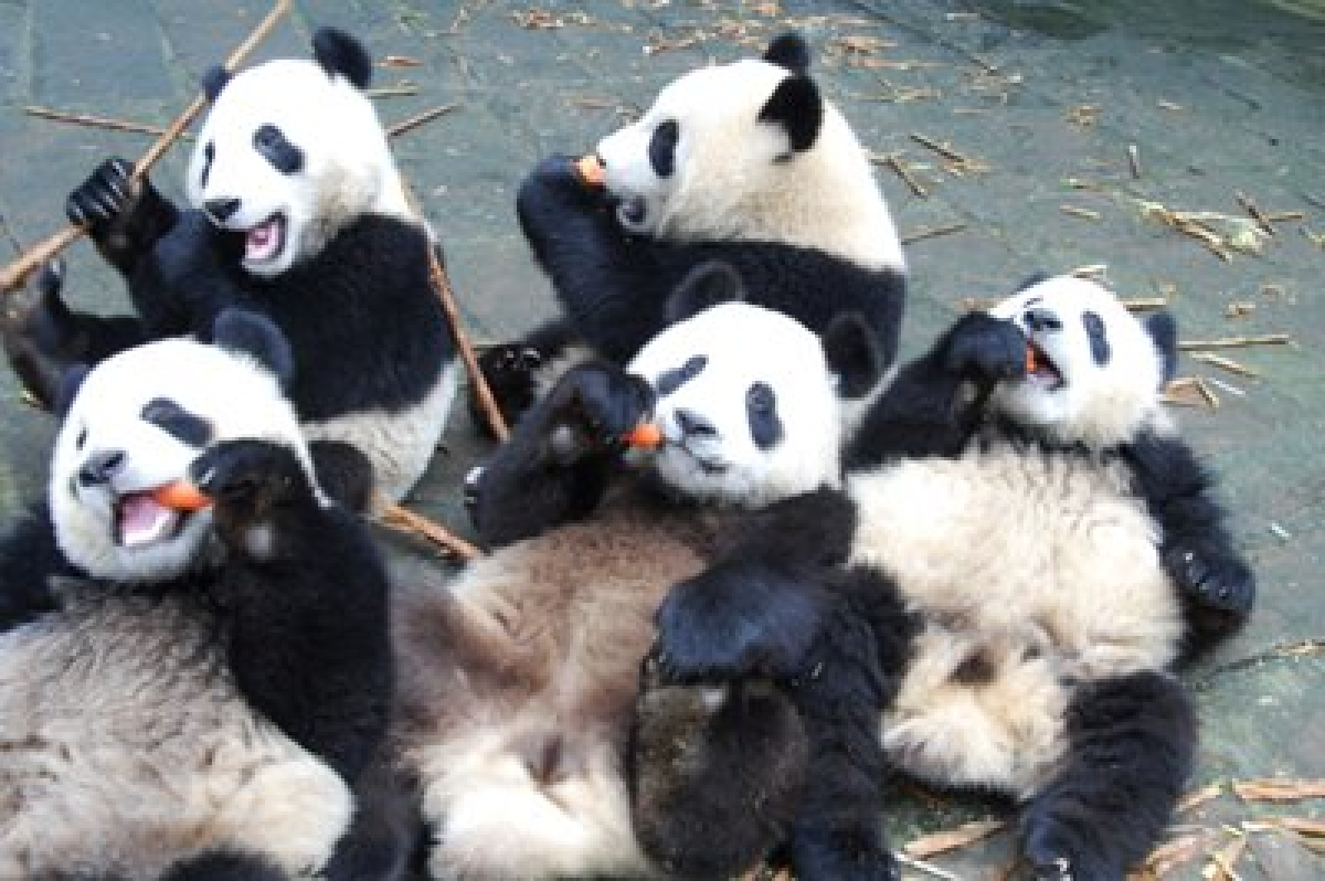 Wild pandas filmed in China probably twins