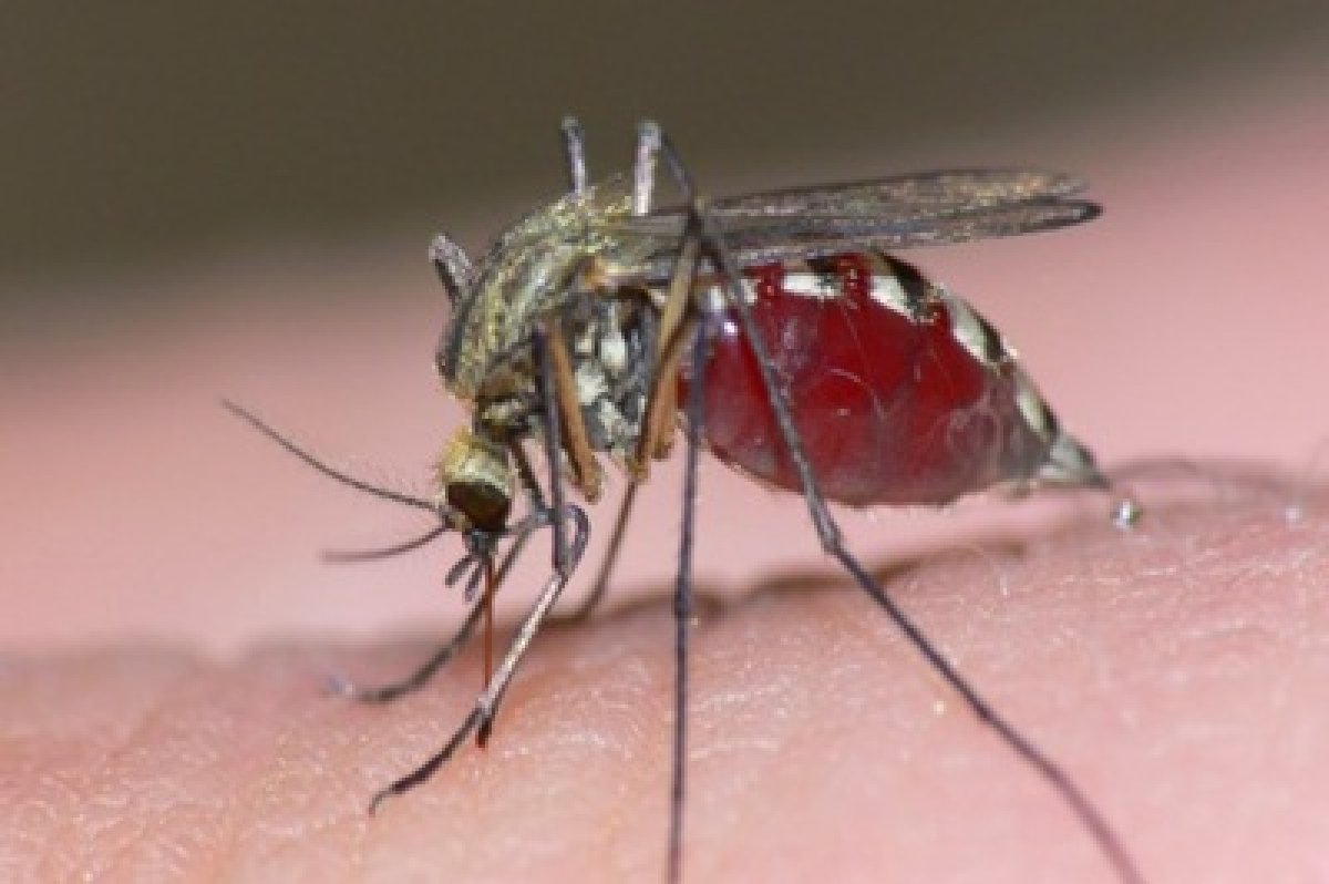 Scientists track genetic race between humans and mosquitoes