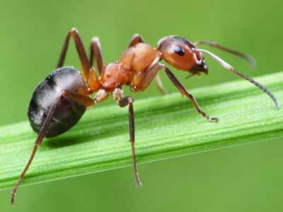 Ants' Chemical Improves  Cancer Drug By 50 Times