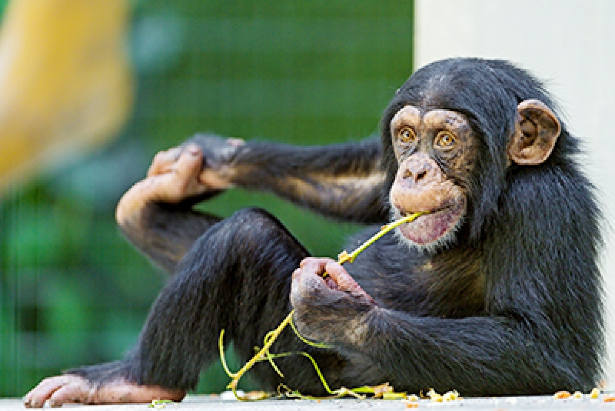 Chimps know when they are right