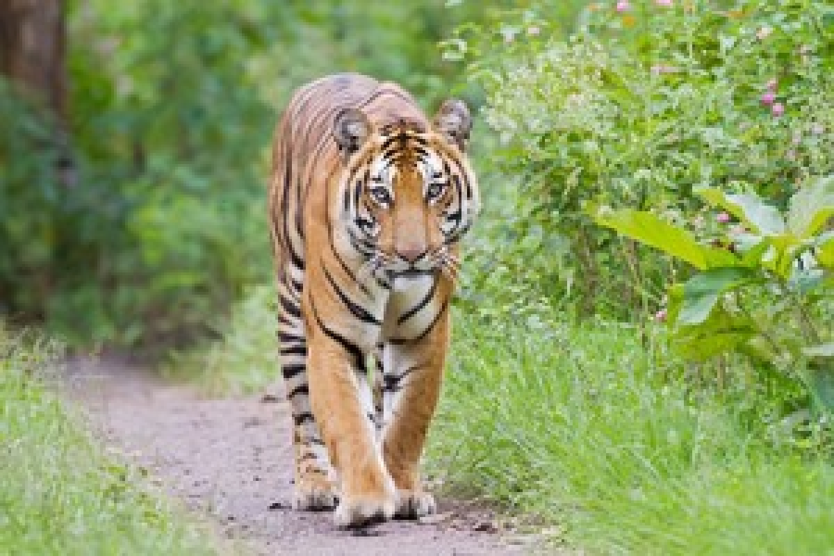 MP has 397 tigers, count goes up by 89