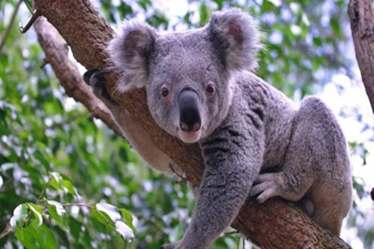 Now, find out about love lives of koalas!