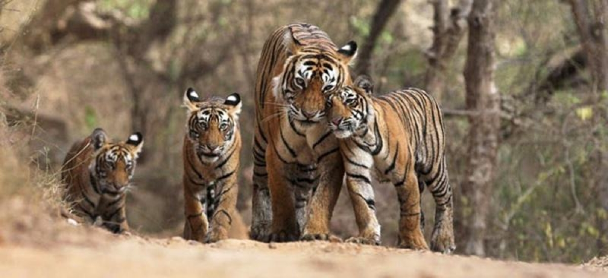 Karnataka: Search for man-eating tiger continues, drones used to track him