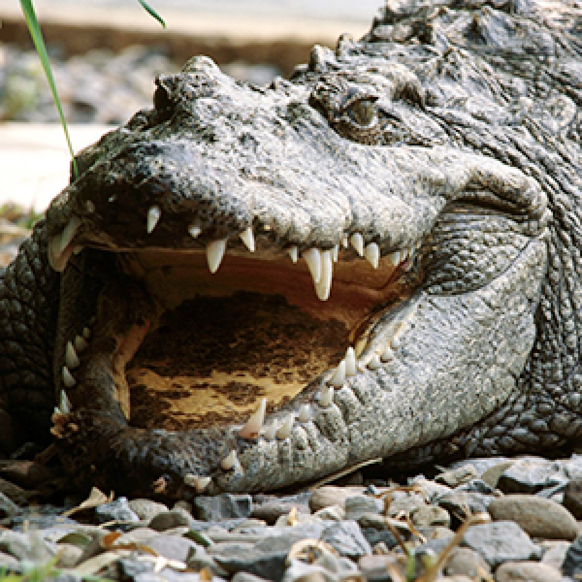 Bhopal: Man rescues friend from crocodile's jaw while swimming in Kaliasot dam