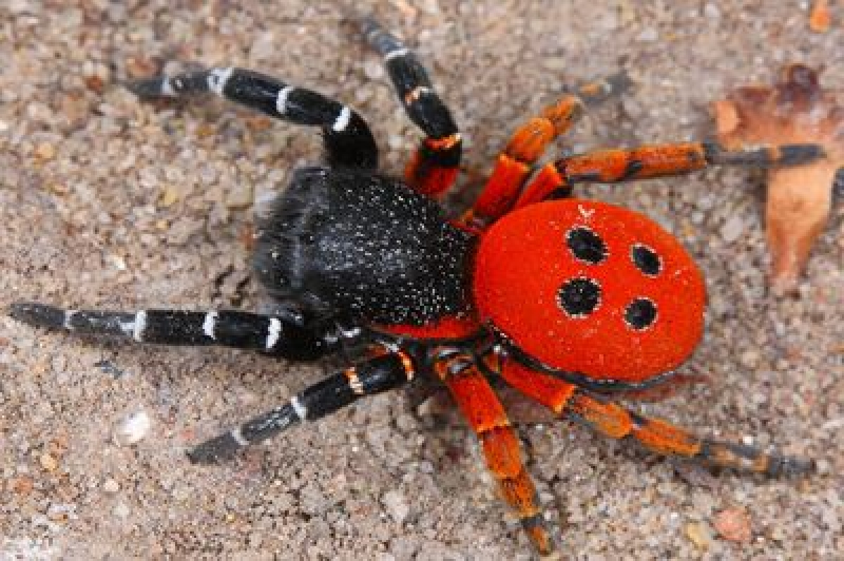 Rare 'Velvet Spider' species found in Maharashtra's Melghat