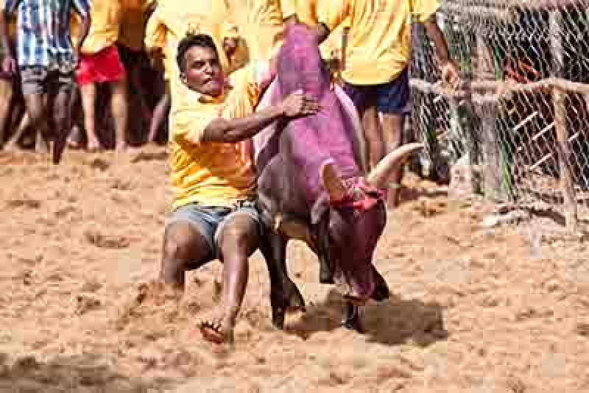 Centre set to allow bull taming sports