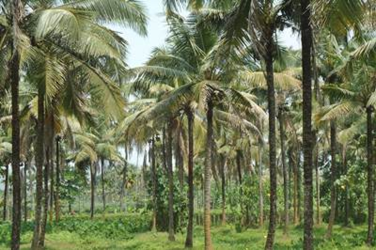 Goa govt tables bill to classify coconut as 'palm'