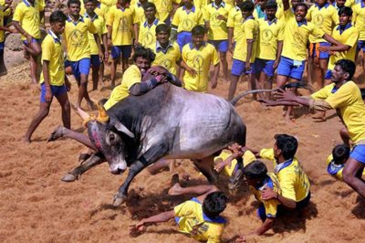 Tamil Nadu celebrates Pongal amid 'Jallikattu' dampener