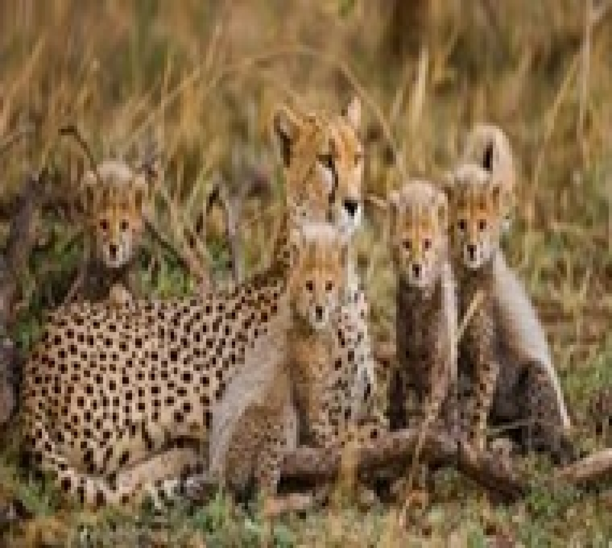 Cheetah numbers may be lower than estimated