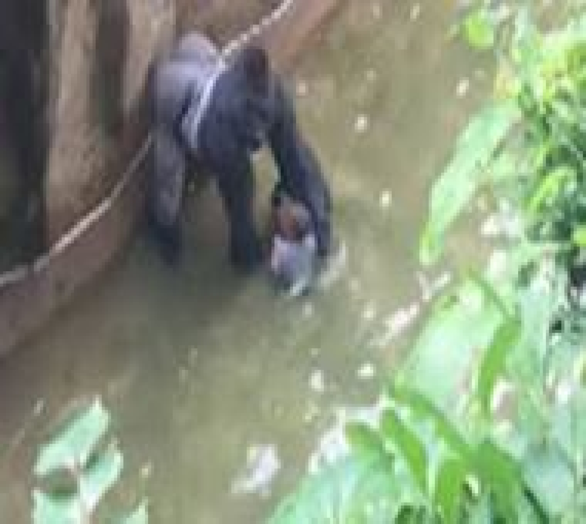 Ohio official: No decision yet on charges in gorilla case