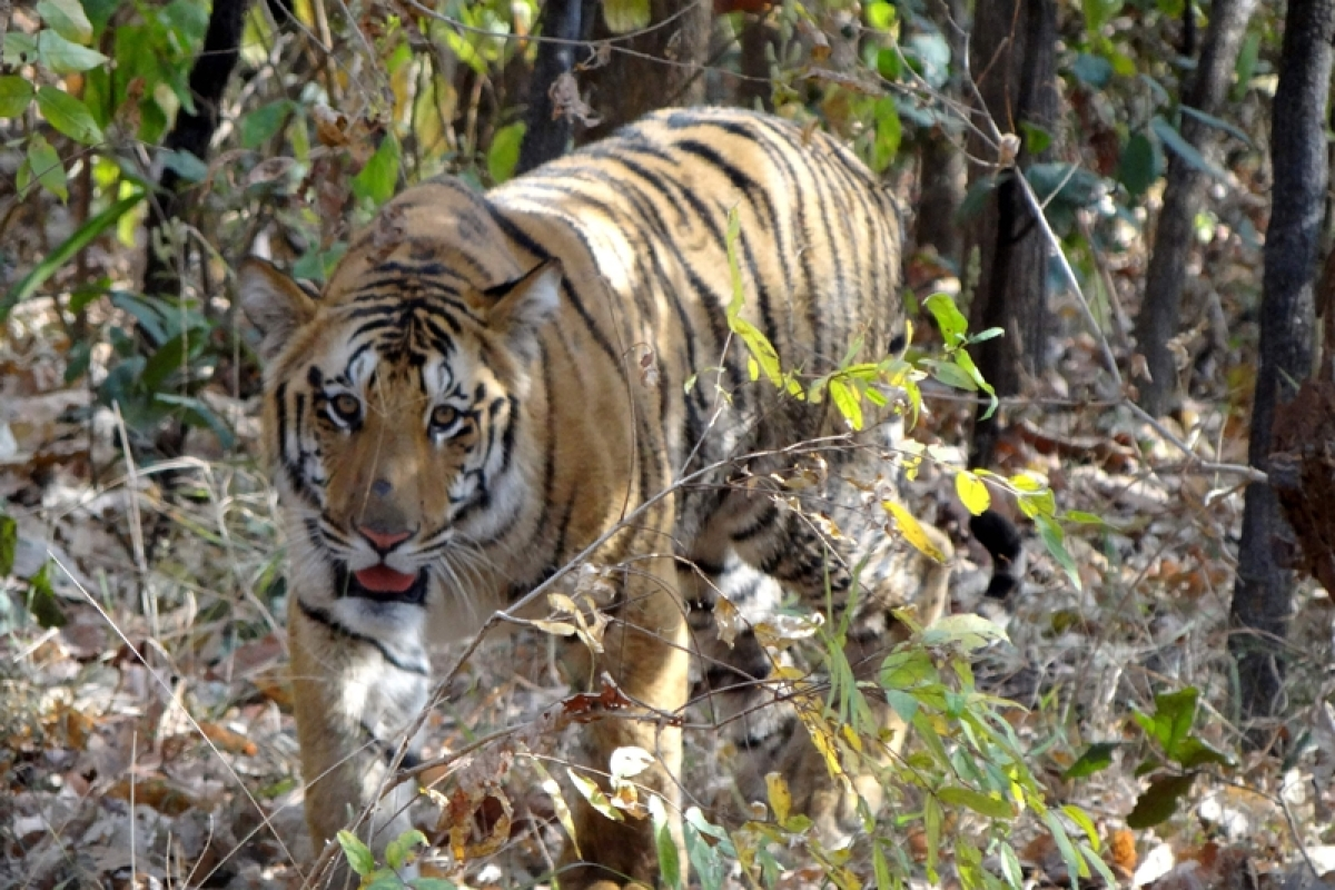 Madhya Pradesh: Tigress found dead near Singhori Wildlife Sanctuary in Raisen district