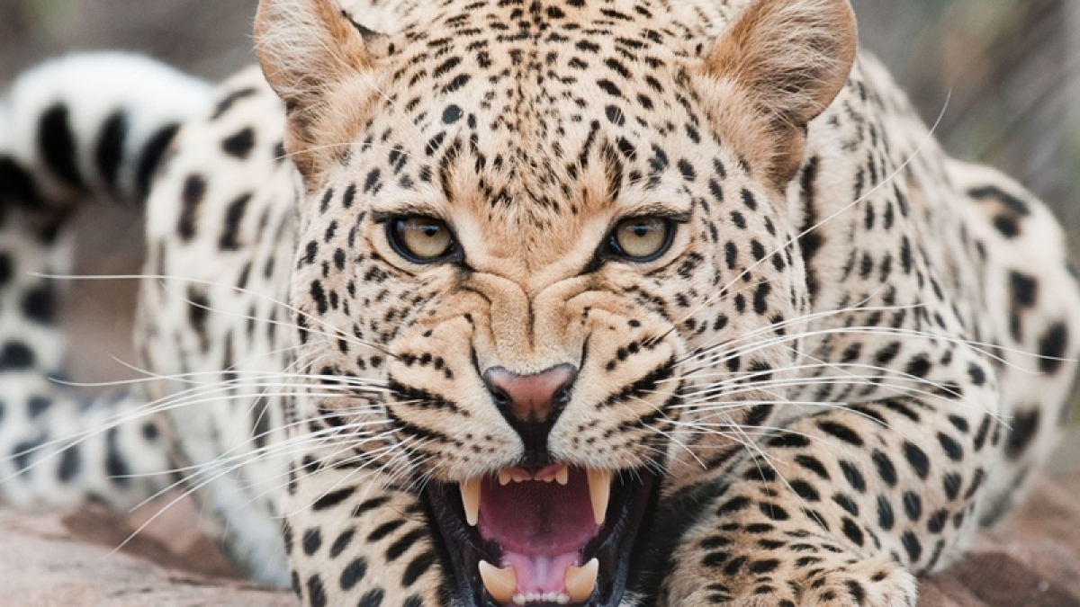 Leopard/ Representative Pic