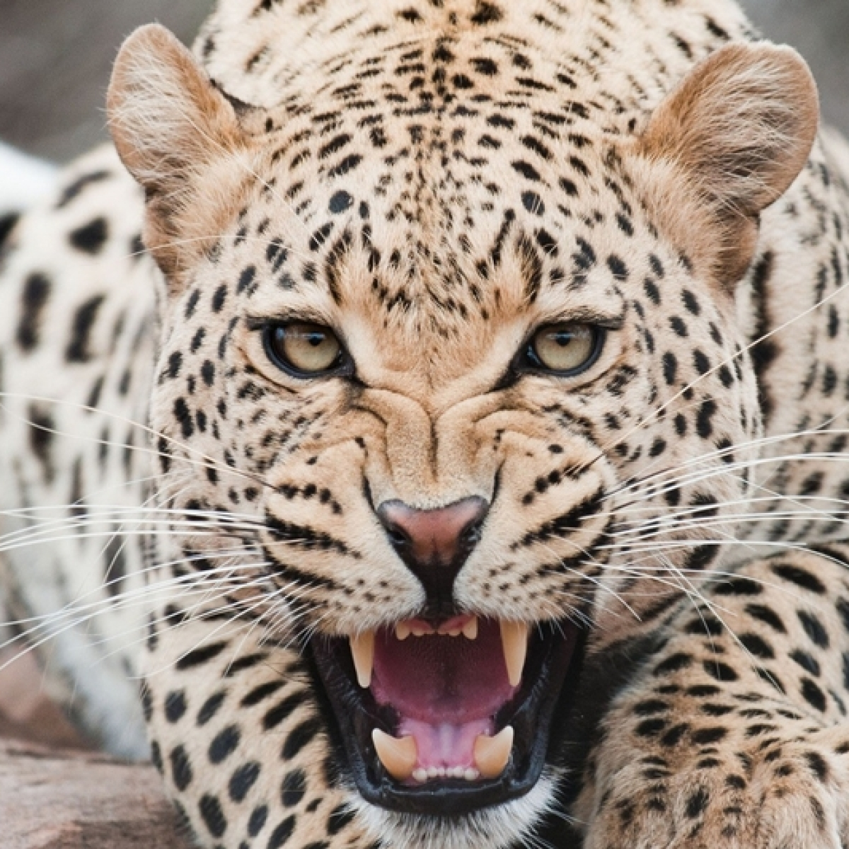 Madhya Pradesh leads in leopard population; minister congratulates people
