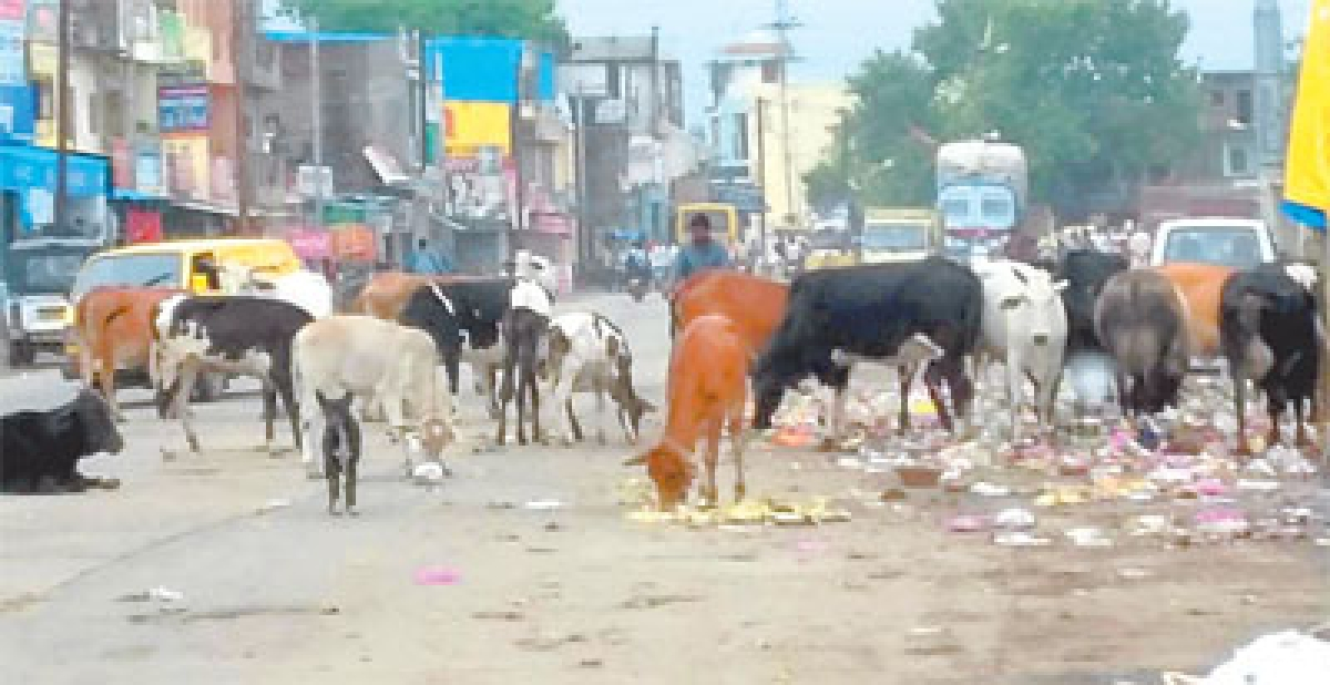 Drive similar to yr 2014 needed to rid city of stray cattle menace