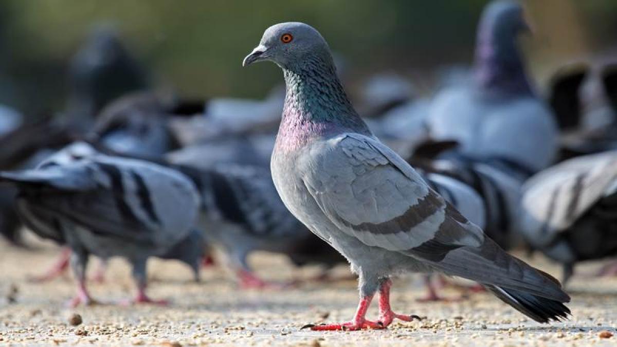 Mumbai: Andheri citizen's group fights pigeon menace
