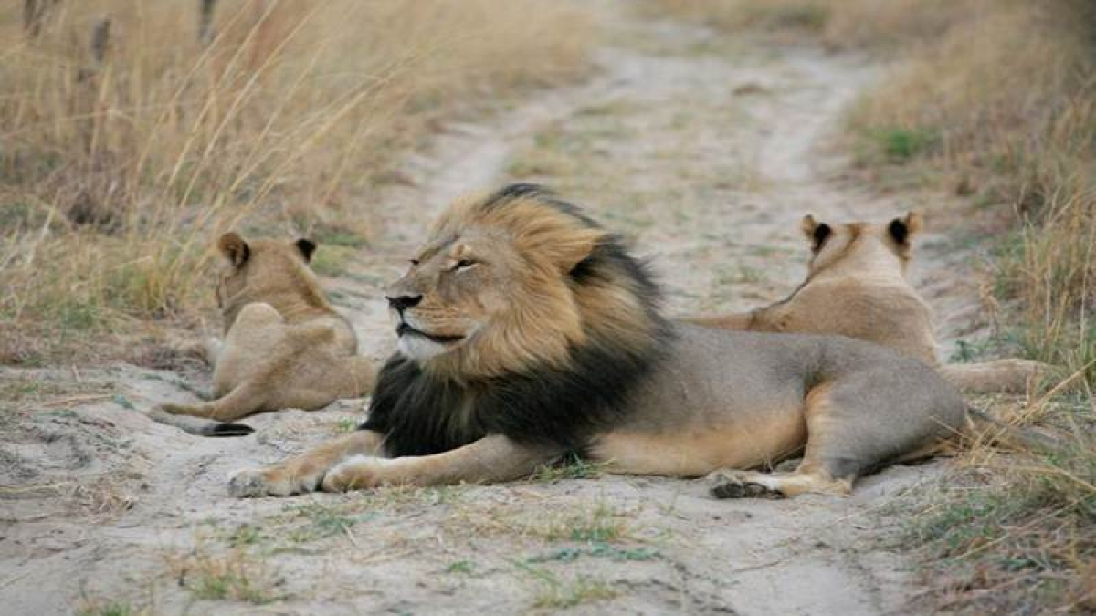 Can trophy hunting help conserve lions?