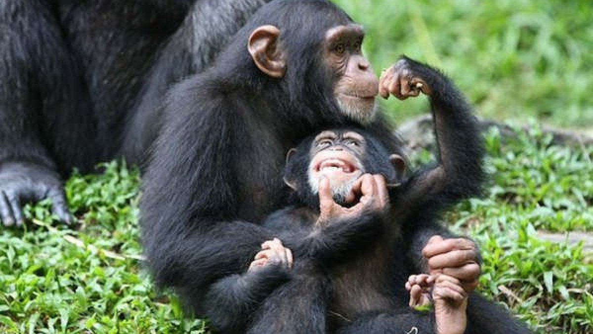 AI to help identify chimps' faces in the wild