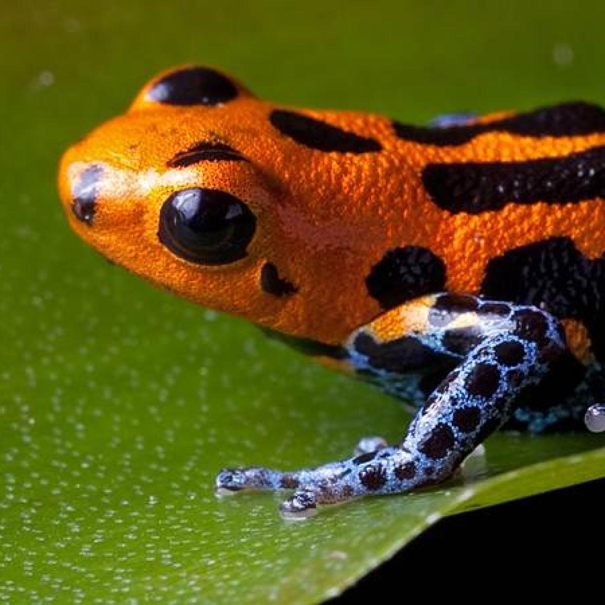May be, it's world's biggest amphibian