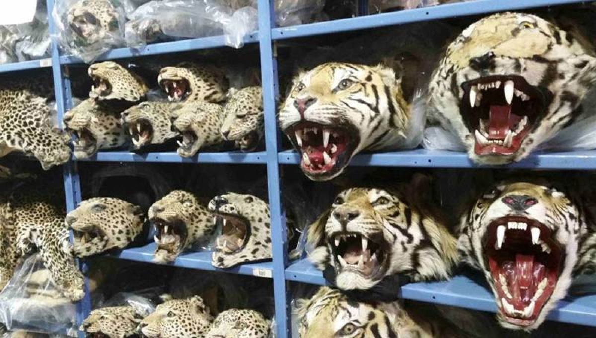 Over 100 tigers killed and trafficked each year: report