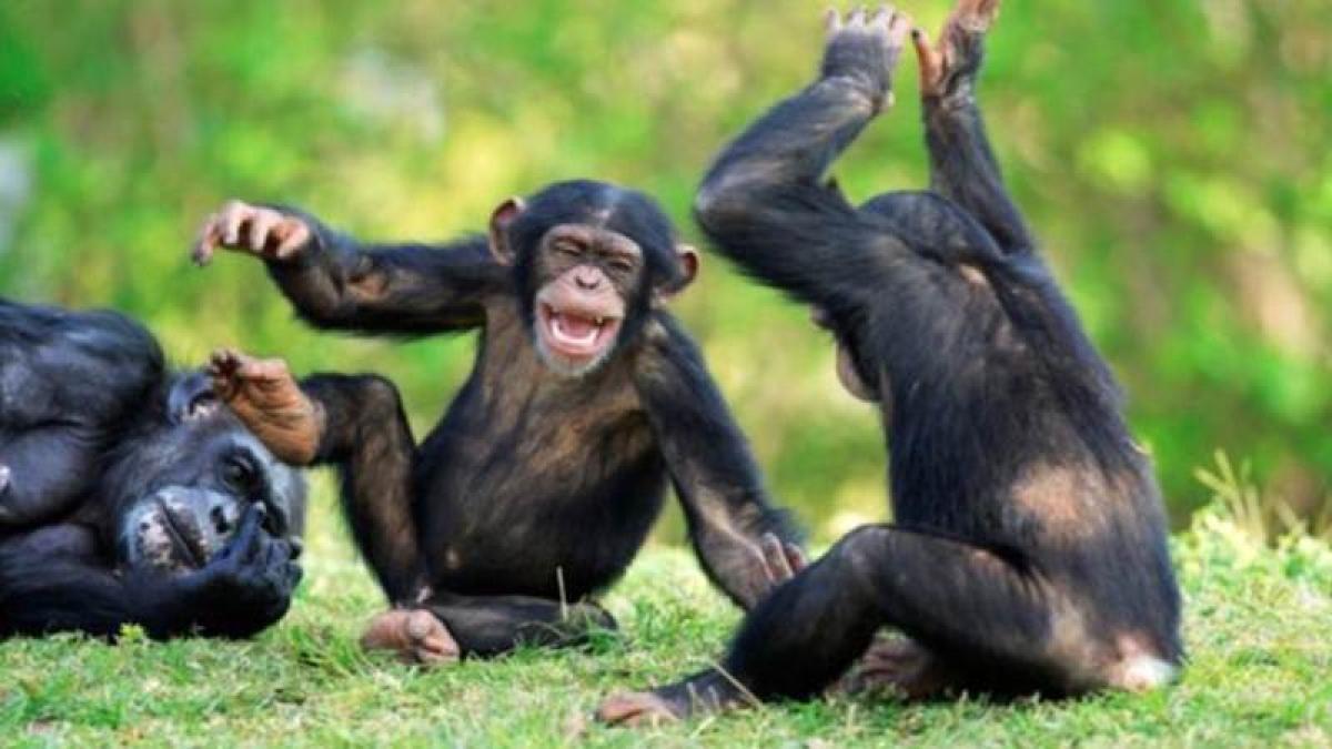 We got dancing skills from chimpanzees