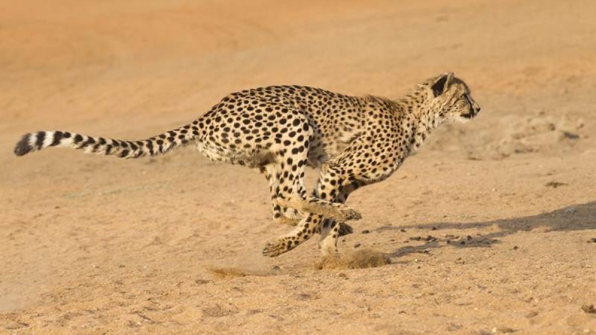 Cheetahs sprinting towards extinction