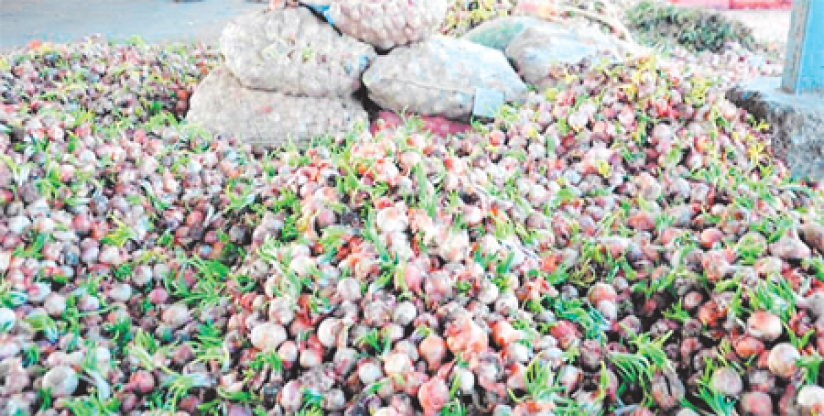 Frustrated onion farmers shed tears of rage; In the festive season, pink bulb growers far from being in the pink