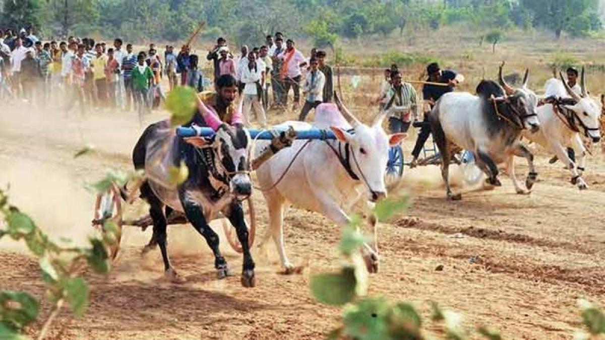 Lift ban on bullock cart  racing in Maharashtra : Shiv Sena MP