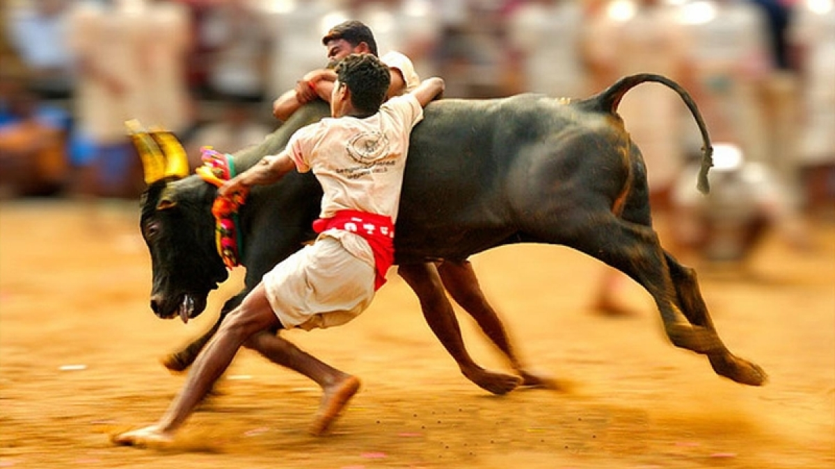 Jallikattu row: 69 caveat petitions filed in Supreme Court so far