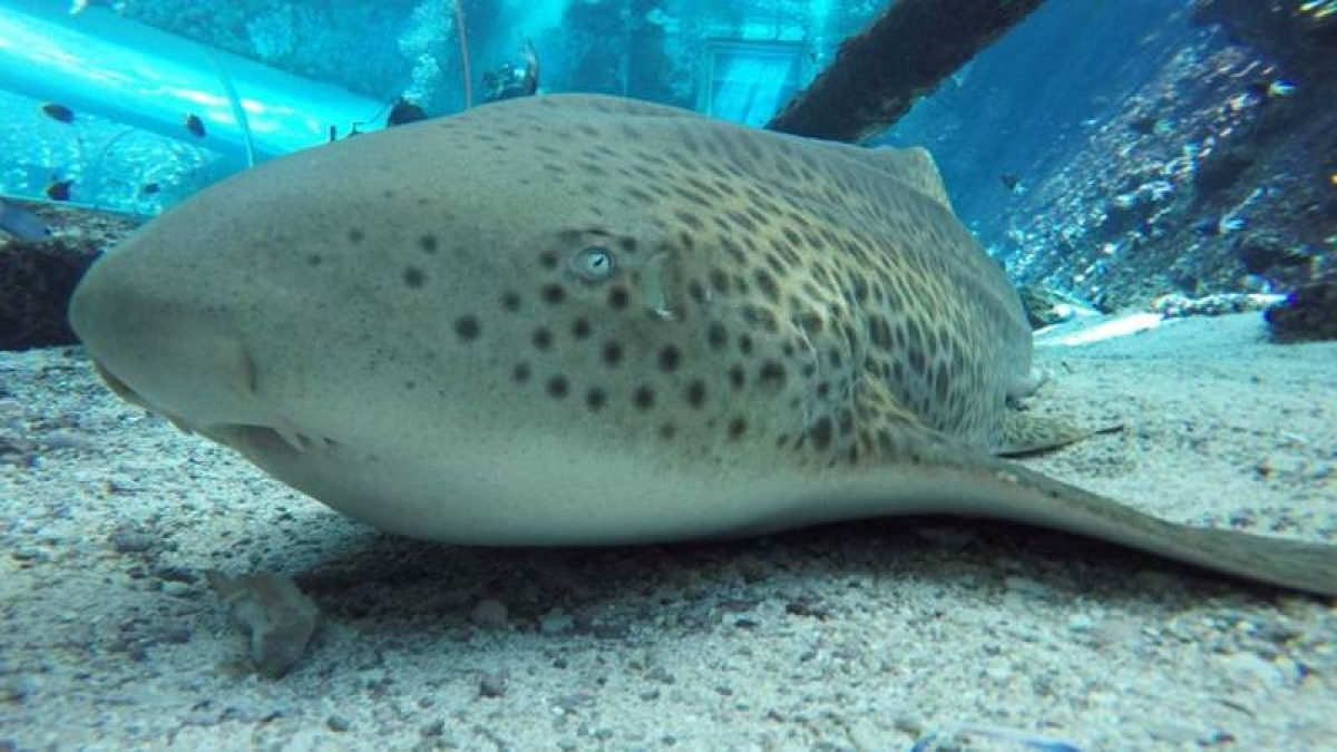 In a first, Leopard shark gives birth without male