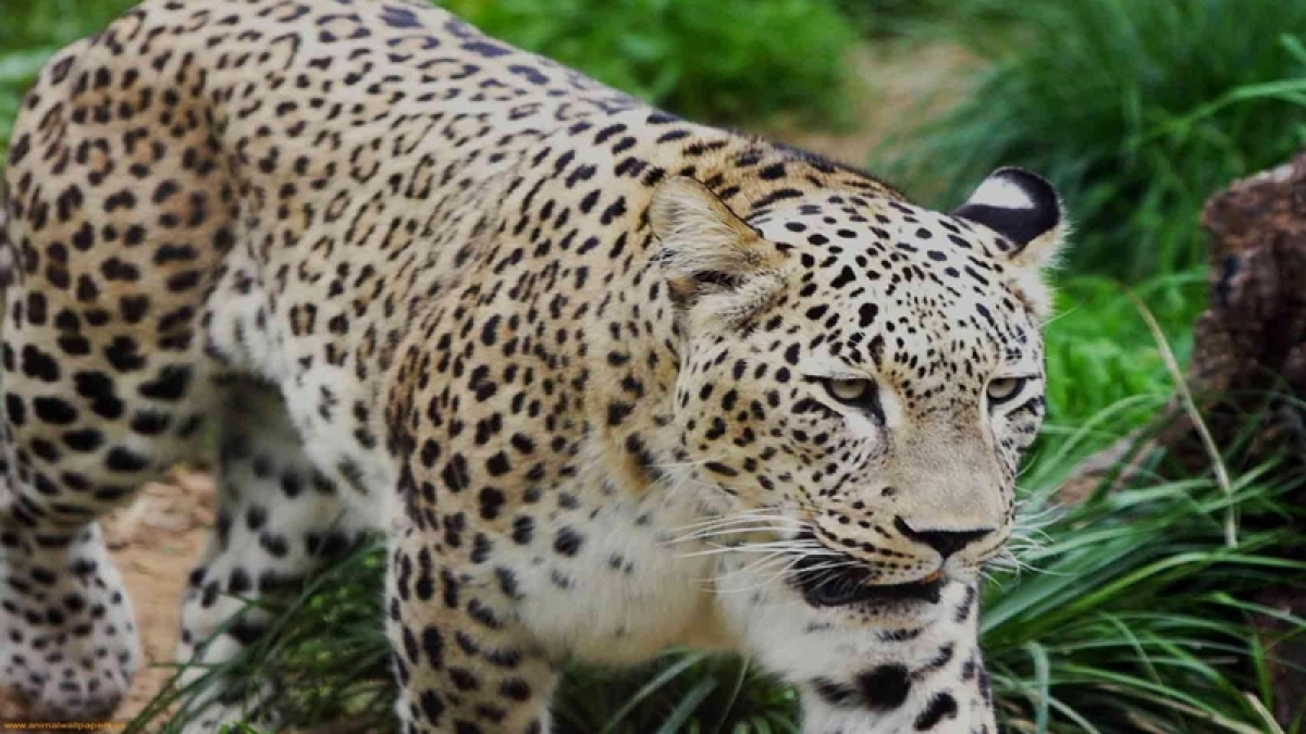 Maharashtra: Jalgaon forest officials 'honey trapped' leopard suspected of terrorising farmers