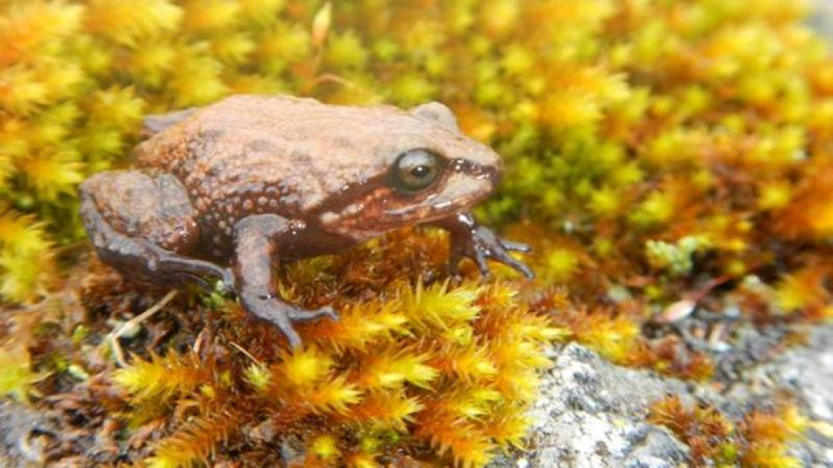 New frog species named after David Attenborough