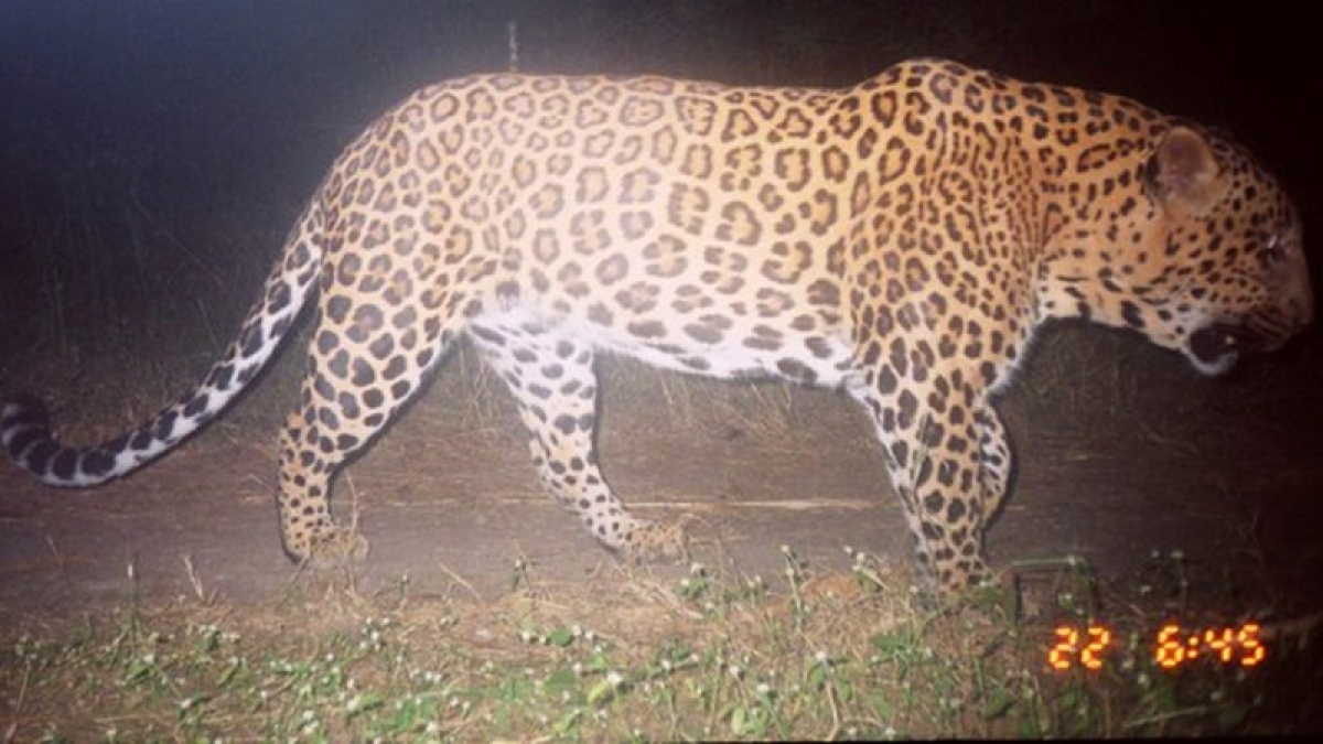 Bhopal: Search intensified to trace stray leopard