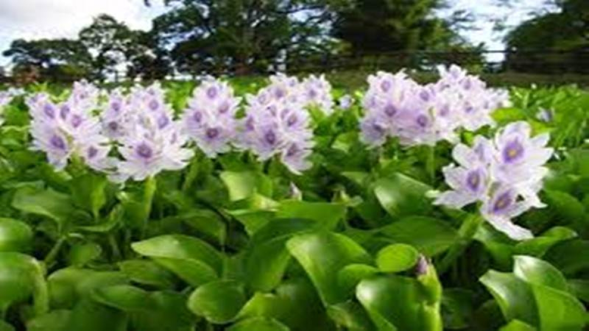Mumbai: Effluents in Powai lake lead to oxygen-depleting water hyacinth