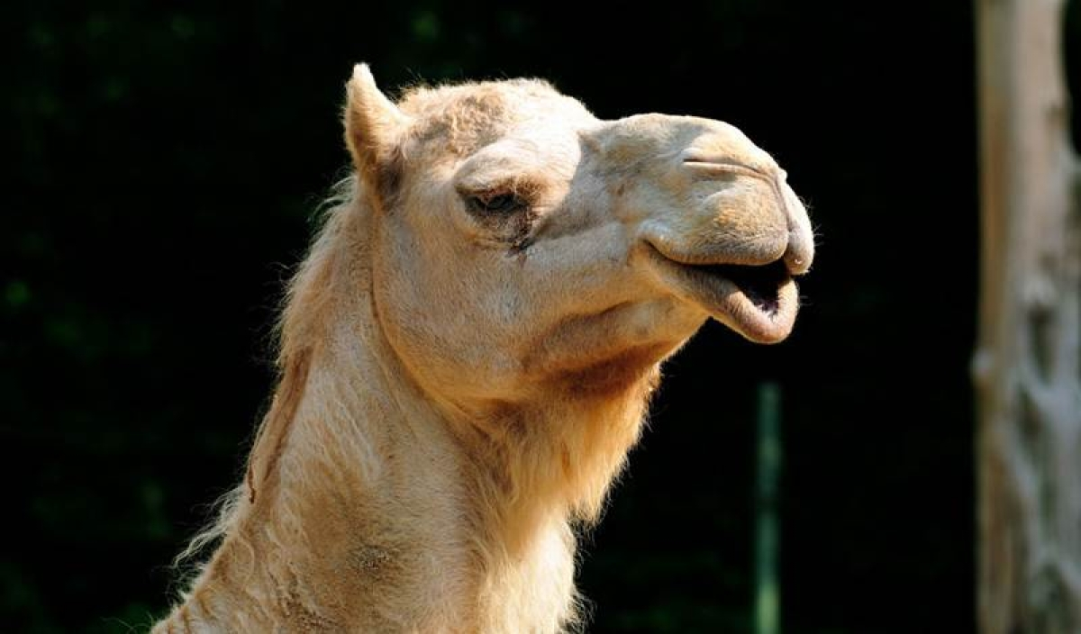 What? 12 camels disqualified for using botox on lips during beauty contest in Saudi Arabia
