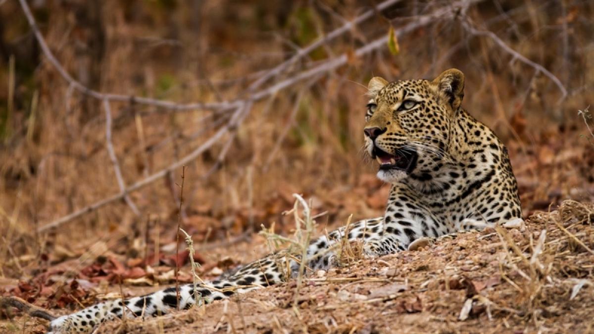 Wildlife Tragedy: In just 2 months, 18 leopards die in Maharashtra
