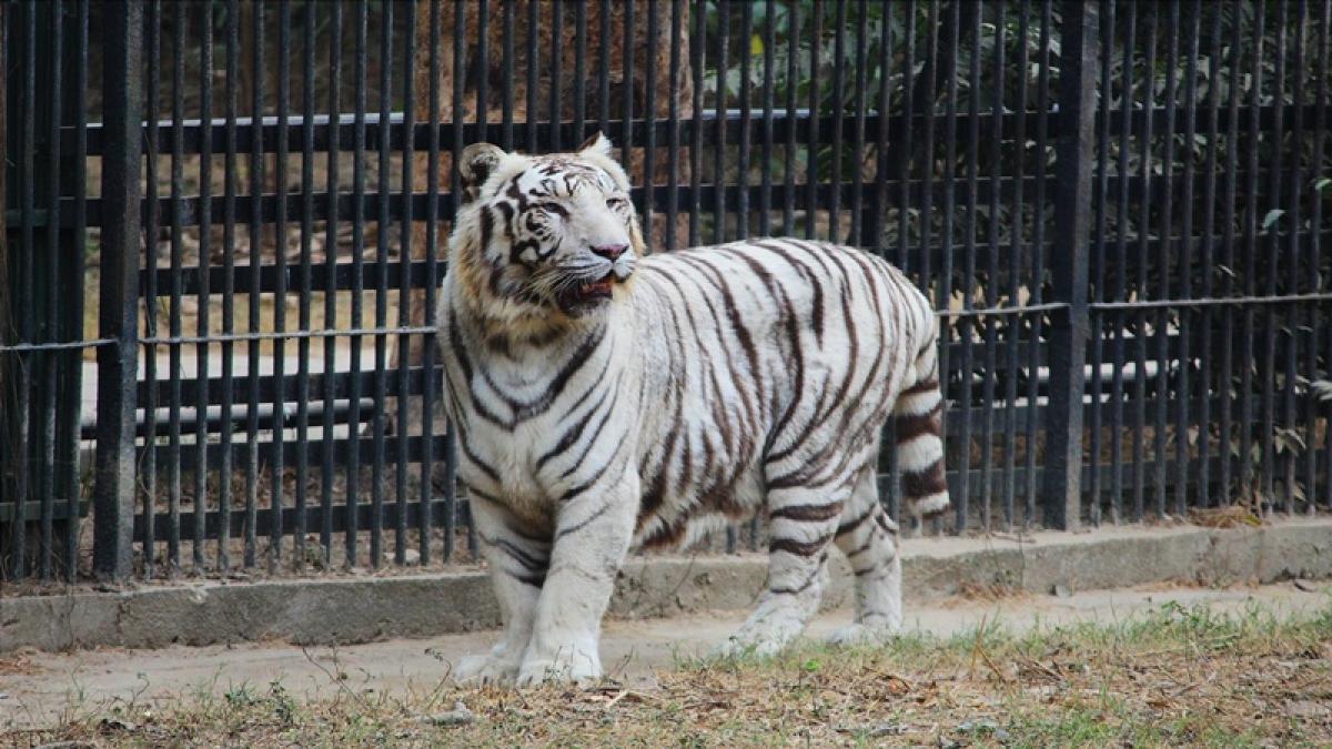 DelhiZoo mulls mating white tiger with royal Bengal tiger