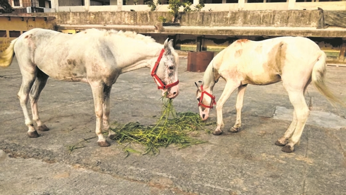 Mumbai: Cops seize injured, underfed horses from Nariman Point