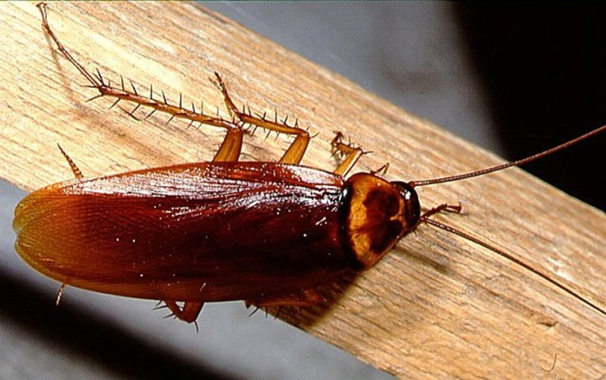 Indore: Cockroach in corona patient's meal at MRTB triggers anger