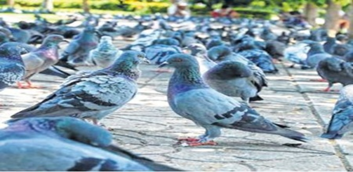 Indore: Rise in breathing disorder: Blame pigeons' droppings