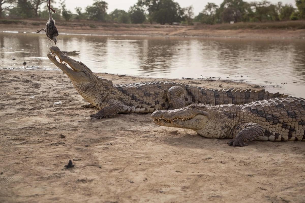 Maharashtra: Crocodile drags 12-year-old boy into Krishna river; body found
