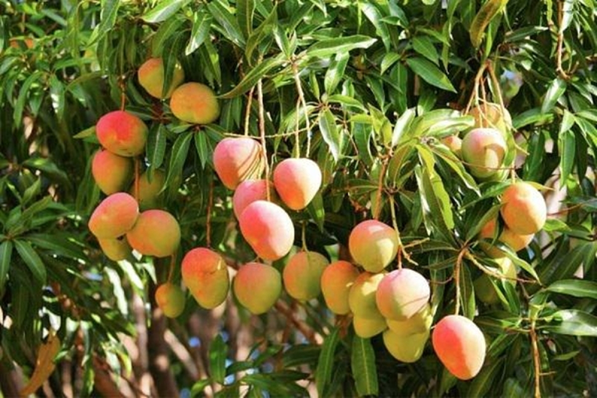 Bihar: 12 year old Boy shot dead allegedly for plucking mangoes