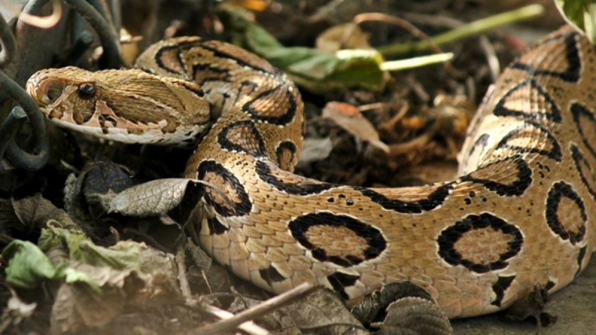 Python covered with over 500 ticks rescued in Australia