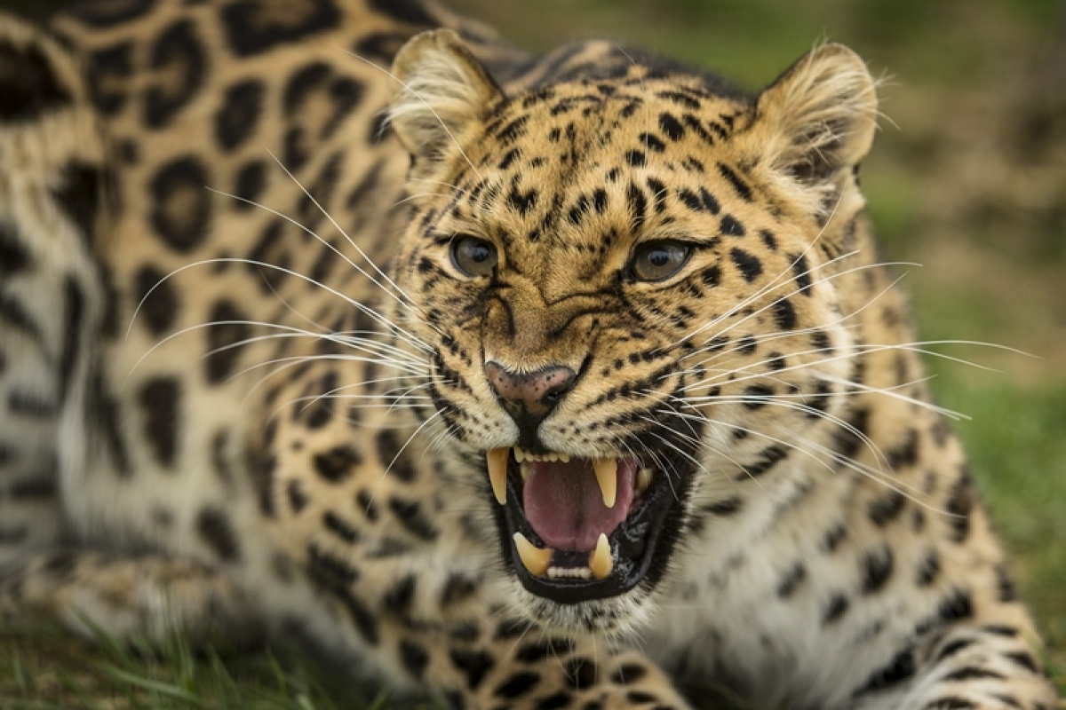 Maharashtra: Mother, Grandmother save Three-year-old from leopardess